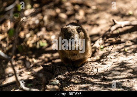 A dassie baby sitting under branches waiting for her mother - Stock Photo