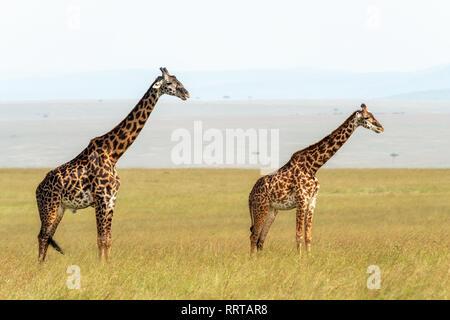 Male and female Masai giraffe, Giraffa camelopardalis tippelskirchii,  in the long grass of the Masai Mara, Kenya. - Stock Photo