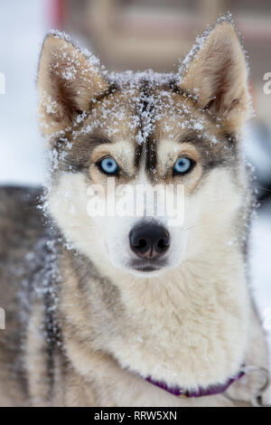 Portrait of a dog in snow flakes. Lovely blue-eyed husky from the sled dog team