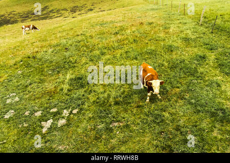 Couple of Cows are Eating Grass on a Farmland. Livestock on a summer. Animals on a Meadow Village on Rainy day. Top View Drone Photo. - Stock Photo