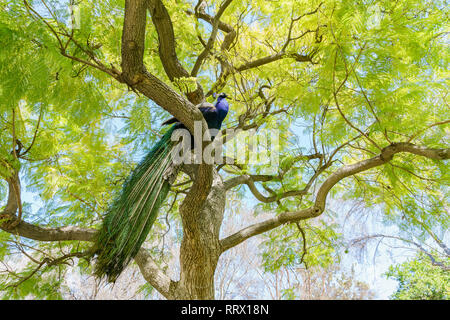Peacock sitting on a branch at Los Angeles, California - Stock Photo
