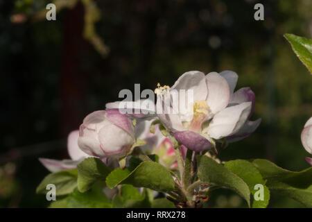 closeup view,black background,dark background,currant twig,background,black,bud,closeup,currant,dark,spring,twig,view,plant - Stock Photo