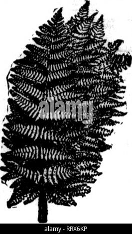 . Florists' review [microform]. Floriculture. FANCY FERN! CHOICE T. STOCK $2.00 per 1000 DISCOUNT ON ORDERS or 10,000 OR MORE $2.00 per 1000 Fort Morgan, Coix)., May 17, 1913. Michigan Cut Flower Exchange, Detroit, Michigan. Please ship via express, promptly, one thousand fancy cut ferns for Memorial day use. The ferns which we have been getting from you have been so much better than those received from wholesale houses nearby, where they have been rehandled, that we feel justified in shipping them so far. Only wish that we could use enough to ship more frequently. Yours truly, REID'S. GREENHO - Stock Photo