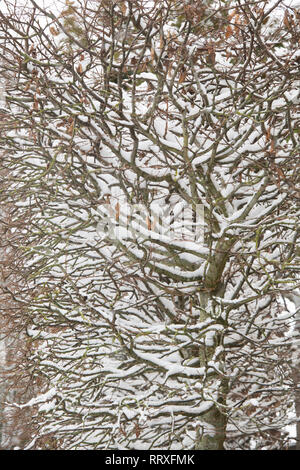 Cotswold garden winter beech hedge covered in snow. Winson, Cotswolds, Gloucestershire, England - Stock Photo