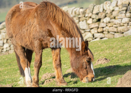 Brown and white Horse grazing in a field with limestone walls,Summerbridge,Nidderdale,North Yorkshire,England. - Stock Photo