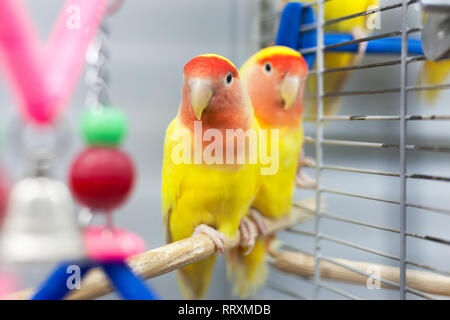 two colorfull lovebirds. red and yellow colors. troplical pets. - Stock Photo