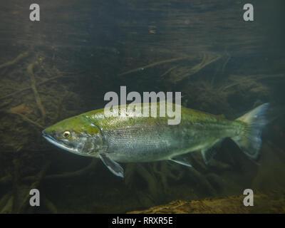 Closeup underwater view of a sockeye salmon spawning in the Kenai River Alaska - Stock Photo