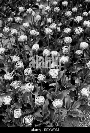 Netherlands - Holland, ca. 1956, flower field. Photo by Erich Andres Blumenfeld in Holland, Aufnahme ca. 1956 - Stock Photo