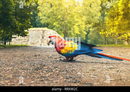 Scarlet Macaw at Mayan Ruins Archaeological site - Copan, Honduras - Stock Photo