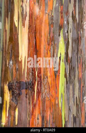Closeup of Rainbow Eucalyptus near Kona on the Big Island, Hawaii. - Stock Photo