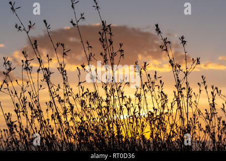 A Gaura Belleza bush silhouetted against a golden sunset. - Stock Photo