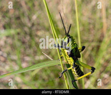 A close view of a Green Milkweed Locust sitting on the dried stem of a plant in the Natal Midlands, South Africa. - Stock Photo
