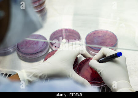 Laboratory worker labelling a culture plate petri dish with black marker pen inside an asceptic fume hood in a microbiology laboratory setup - Stock Photo