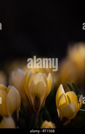the first crocus yellow against a dark background Kopie - Stock Photo