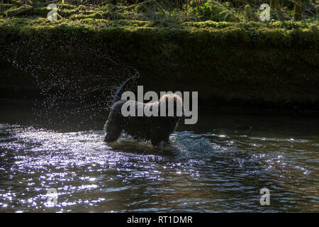 Loggerheads Country Park, Denbighshire, North Wales, UK 27 February 2019 - Weather - pets - The sun continues to shine and this dog took to playing in the River Alyn to keep warm at Loggerheads Country Park, Denbighshire, North Wales, UK - Stock Photo