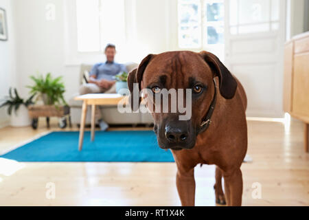 Rhodesian ridgeback standing in living room, man siting on couch in background - Stock Photo