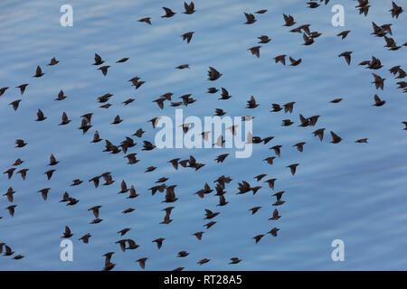 Star, Stare, Trupp, Schwarm, Starenschwarm, sammeln sich im Herbst zum Zug gen Süden, Sturnus vulgaris, European starling, common starling, L'Étournea - Stock Photo