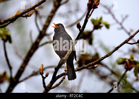 Blackbird, blackbird in the spring, throttle, throttles, real throttles, cultural followers, black throttle, singing blackbird, songbird, sparrow's bi - Stock Photo