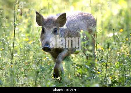 Pigs, real pigs, local animals, endemic animals, young wild boars, cloven-hoofed animals, sow, making a mess, making a mess in summer, black smock, bl - Stock Photo