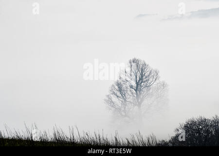 Top part of a tree showing through the early morning mist with a hedge in the foreground during a dramatic cloud inversion, Brecon Beacons, Wales, UK - Stock Photo