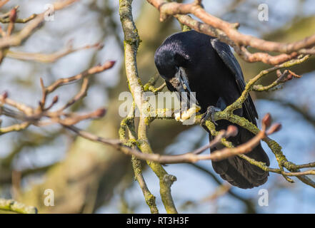 Adult Rook (Corvus frugilegus) perched on a branch feeding in Winter in West Sussex, UK. Rook eating. - Stock Photo