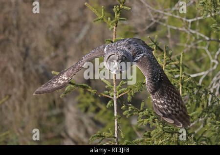 Great grey owl (Strix nebulosa) - Stock Photo