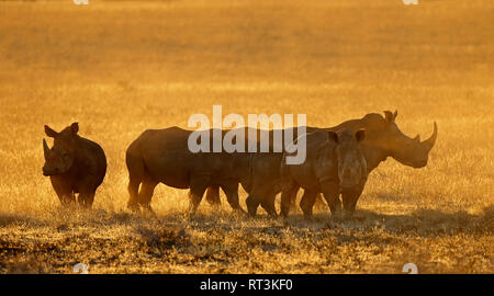 Group of white rhinoceros (Ceratotherium simum) in dust at sunset, South Africa - Stock Photo