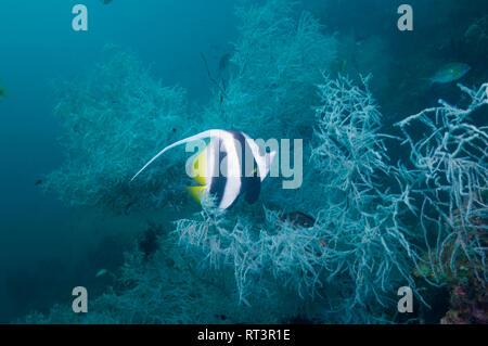 Longfin bannerfish [Heniochus acuminatus] with Black coral [Antipathes dichotoma].  West Papua, Indonesia. - Stock Photo