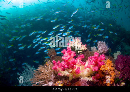 Coral reef scenery with soft corals [Dendronephthya sp.]. and a mixed school of fusiliers. - Stock Photo