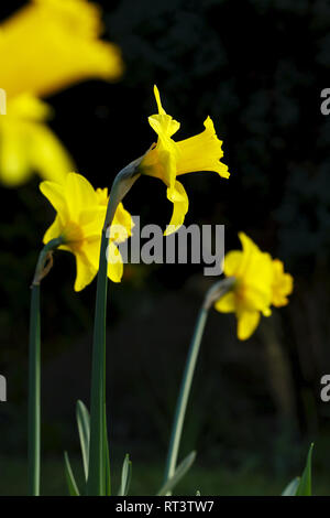 Close up of daffodils flowering in spring in a garden in UK - Stock Photo