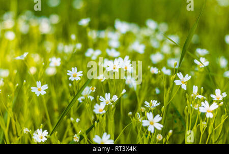 Small white daisies in a field on a background of green grass - Stock Photo