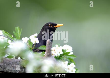 Blackbird, blackbird in the spring, throttle, throttles, real throttles, cultural followers, black throttle, sparrow's bird, sparrow's birds, Turdus m - Stock Photo