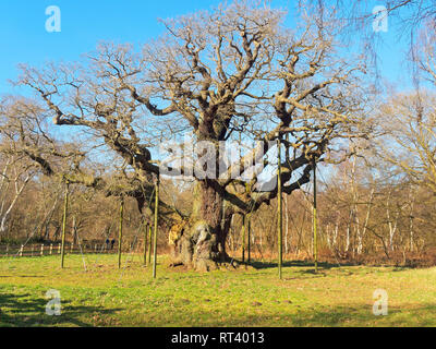 In the heart of Sherwood Forest the Major Oak stands bare under a blue winter sky - Stock Photo