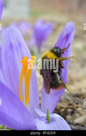 Early spring pollination, Crocus or Saffron flower and bumblebee covered by pollen, close up view - Stock Photo