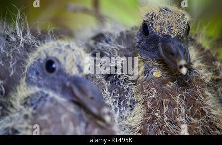 Pigeon chicks in their nest, up close - Stock Photo