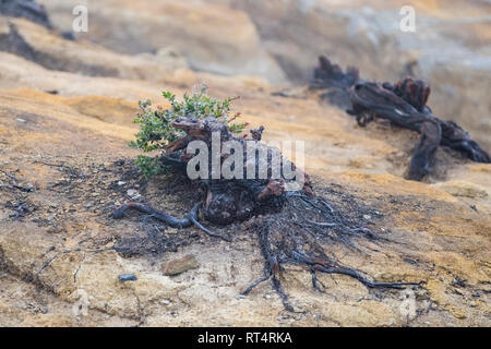 Charred roots on Ijen volcano ridge, Ijen crater, Banyuwangi, Jawa Timur, Indonesia - Stock Photo