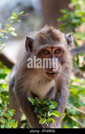 macaque (Macaca fascicularis), eats leaves from tree, Bali, Indonesia - Stock Photo