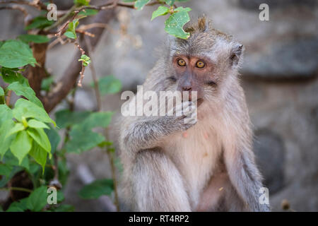 Crab-eating macaque (Macaca fascicularis), eats leaves from tree, Bali, Indonesia - Stock Photo