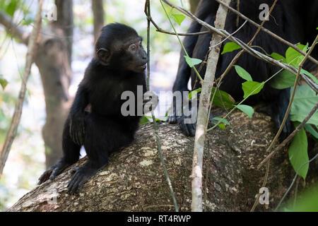 Celebes Crested Macaque (Macaca nigra), Tangkoko National Park, Sulawesi, Indonesia - Stock Photo