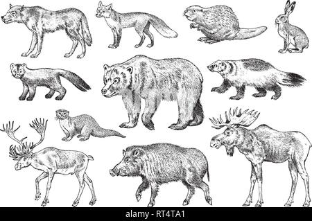 Set of Wild animals. Brown Grizzly Bear Forest Moose Red Fox North Boar Wolf Sable Badger Gray Hare Reindeer River otter. Vintage monochrome Mammal - Stock Photo