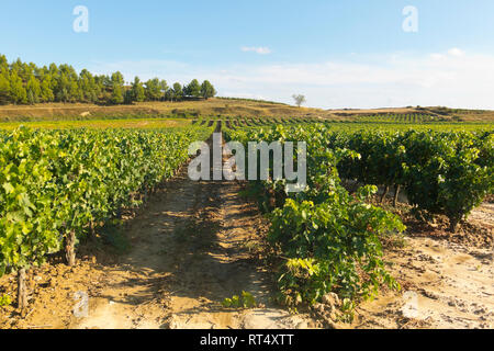 Field with vineyards in Logroño, in the Spanish region of La Rioja, famous for its production of red wine. La Rioja is the region with the highest win - Stock Photo