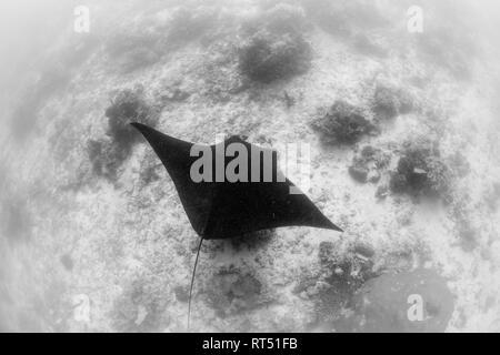 A resident manta ray (Manta alfredi) in Raja Ampat, Indonesia. - Stock Photo