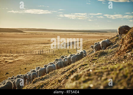 Chile, Tierra del Fuego, flock of sheep on pasture of an Estancia - Stock Photo