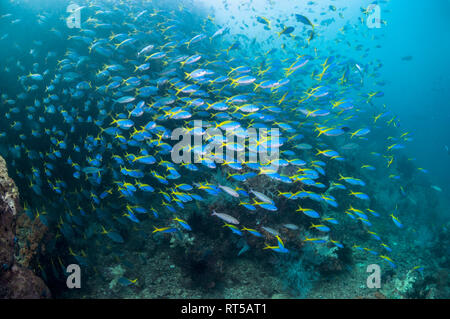 Yellow-back fusiliers [Cesia teres] school over coral reef.  West Papua, Indonesia. - Stock Photo
