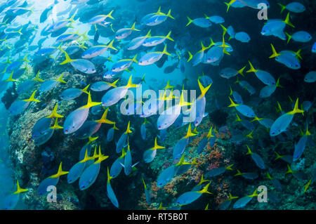 Mixed school of Deep-bodied fusiliers [Caesio cuning] and Yellowback fusiliers [Caesio teres] over coral reef.  West Papua, Indonesia. - Stock Photo