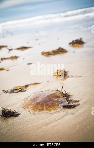 Denmark, stranded compass jellyfish on the beach - Stock Photo