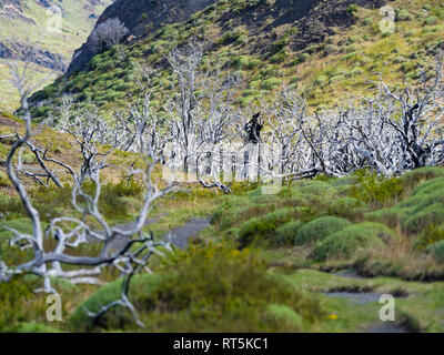Chile, Patagonia, Torres del Paine National Park, dead trees - Stock Photo