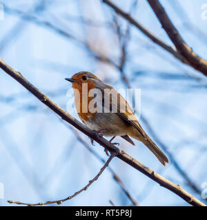 A small Robin (erithacus rubecula) perched on a tree branch - Stock Photo