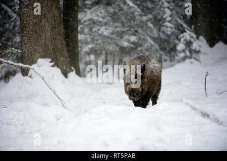 Wild boar, Sus scrofa scrofa, sow, making a mess, wild boars, black game, black smock, cloven-hoofed animal, pigs, pig, vertebrates, mammals, real pig - Stock Photo