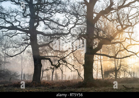 Bare winter oak trees and early morning fog and sunlight in Blenheim park, Woodstock, Oxfordshire, England - Stock Photo